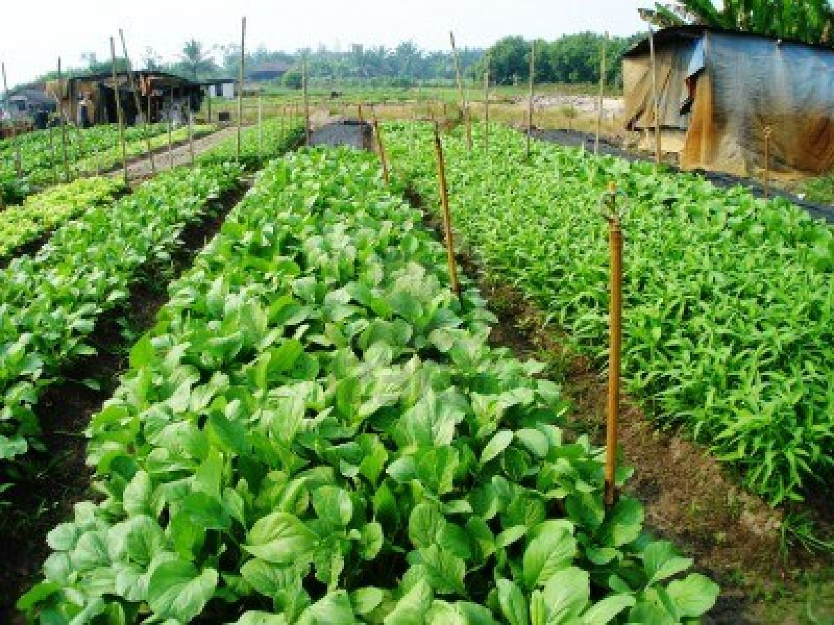 Vegetable farming  sample farm